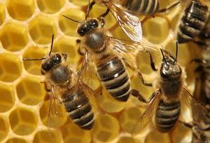 دانلود پاورپوینت پرورش و نگهداری زنبور عسل